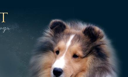 Shadymist Shetland Sheepdogs